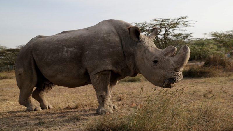 Последният северен бял носорог в света – провал или… прогрес